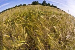 Spica of wheat Stock Photo