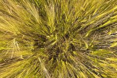 Spica of wheat Royalty Free Stock Image
