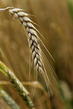 Spica of wheat Stock Images