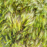 Spica of wheat Stock Photography