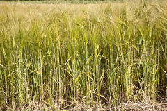 Spica of wheat Royalty Free Stock Photos