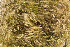 Spica of wheat Royalty Free Stock Photography