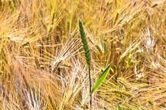 Spica of wheat Royalty Free Stock Images