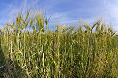 Spica of wheat Stock Photos
