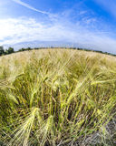 Spica of wheat in corn field Stock Image