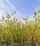 Spica of wheat in corn field Royalty Free Stock Image