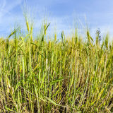 Spica of wheat in corn field Stock Images
