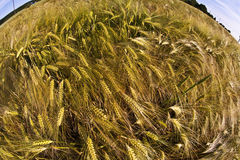 Spica of wheat in field Royalty Free Stock Image