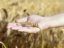 Spica wheat lying on a  palm Stock Photography