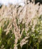 Spica zbliżenia kwiecisty tło, śródpolny lata tło Obrazy Royalty Free