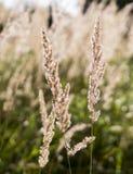 Spica zbliżenia kwiecisty tło, śródpolny lata tło Zdjęcie Stock