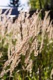Spica zbliżenia kwiecisty tło, śródpolny lata tło Fotografia Royalty Free