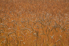 Spicas of ripe wheat Royalty Free Stock Photos