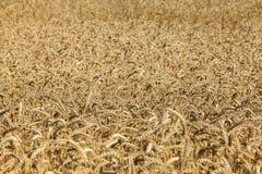 Spicas of ripe wheat Stock Photo