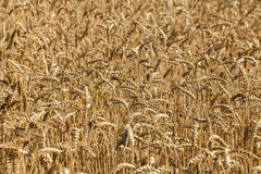 Spicas of ripe wheat Royalty Free Stock Photography