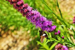 Spicata do Liatris Fotografia de Stock Royalty Free