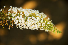 Spicate flowers, Buddleja lindleyana Fortune Royalty Free Stock Photos