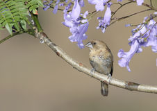 Spice Finch stock photography