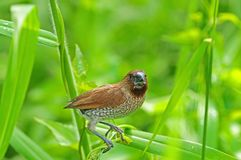 Spice finch in the park Stock Image