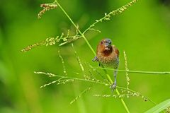 Spice finch in the park Royalty Free Stock Image