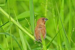 Spice finch in the park. S Stock Photo