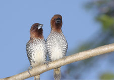 Spice Finches Stock Photo