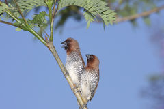 Spice Finches Royalty Free Stock Photography
