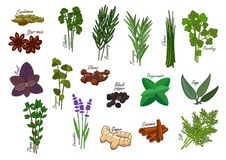 Spice and kitchen herb, condiment ingredients. Spice and kitchen herb, condiment. Cardamom and star anise, cilantro and coriander, rosemary and tarragon, chives vector illustration