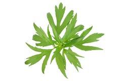 Spice leaf. Fresh botanical spice leaf isolated on a white background Stock Photos