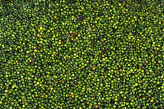 Spice-Pepper-Green pepper berries. Pepper-Green pepper-Scientific name is  Piper nigrum- Indian spice-stripped berries spread for sun drying Trivandrum, Kerala Royalty Free Stock Photos
