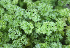 Spice plant: parsley Royalty Free Stock Image