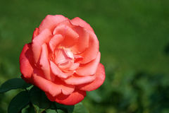 Spice Twice. A hybrid tea rose called Spice Twice Royalty Free Stock Image