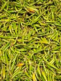Pile of spicy Thai chili peppers stock image