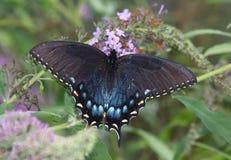 Spicebrush Swallowtail imagens de stock royalty free