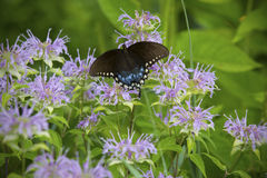 Spicebush在管香蜂草的swallowtail蝴蝶开花,草甸 免版税库存图片