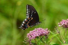 Spicebush Motyl Swallowtail Zdjęcia Stock