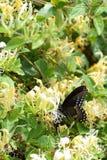 Spicebush Motyl Swallowtail Fotografia Stock
