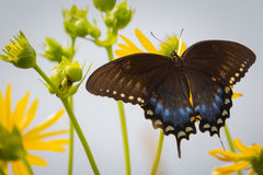 Spicebush Swallowtail在Ballard自然中心在伊利诺伊 图库摄影