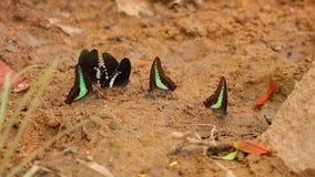 Spicebush Swallowtail και κοινή πεταλούδα ` s Bluebottle απόθεμα βίντεο