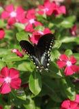 Spicebush Swallowtail 免版税库存照片