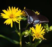 Spicebush Swallowtail Foto de archivo libre de regalías
