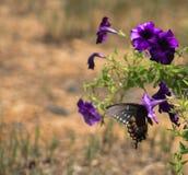Spicebush Swallowtail 1 Imagen de archivo libre de regalías