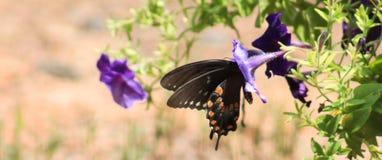 Spicebush Swallowtail 3 Fotografía de archivo