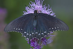 Spicebush Swallowtail royalty free stock image