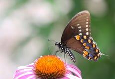 Spicebush Swallowtail Butterfly. Feeding on a Beautiful Flower stock photo