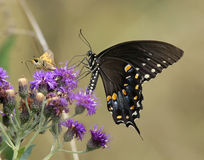 Spicebush swallowtail butterfly Stock Image