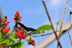 Spicebush Swallowtail Butterfly Royalty Free Stock Images