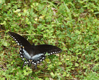 Spicebush Swallowtail Butterfly. A gorgeous Spicebush Swallowtail Butterfly during the summer on the ground with room for your text stock photos