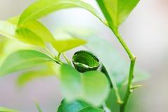 Spicebush Swallowtail Butterfly Caterpillar Larva on Leaf.  royalty free stock photo
