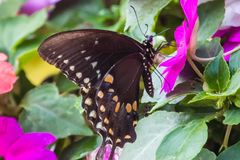 A spicebush swallowtail butterfly on an impatiens plant. A spicebush swallowtail butterfly that landed on an impatiens blossom stock images